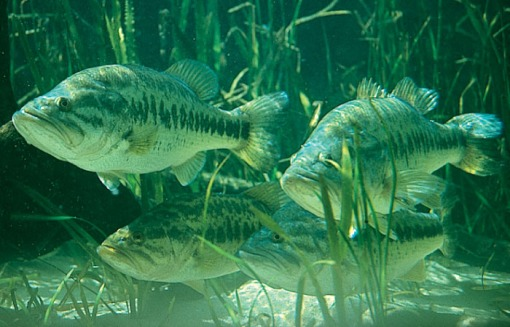 Bass Underwater